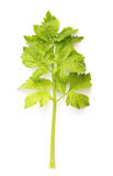 Celery green leaf Royalty Free Stock Image