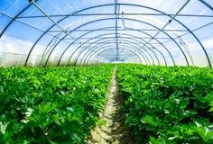 Celery greenhouse culture Stock Photo