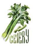 Celery. Hand drawing watercolor on white background with title. vector illustration