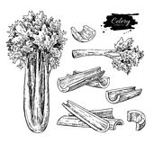 Celery hand drawn vector illustration set. Isolated Vegetable engraved style object. Detailed vegetarian food. Drawing. Farm market product. Great for menu Stock Photography