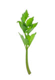 Celery isolate on White Background Royalty Free Stock Images