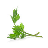 Celery isolate on White Background Stock Photos