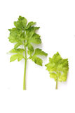 Celery Stock Images
