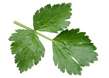 Celery leaf closeup Royalty Free Stock Photography