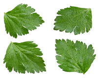 Celery leaf set Stock Image