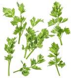 Celery leaf set isolated on white background royalty free stock photos