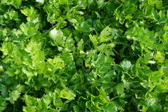 Celery leaf texture. From small home farm Stock Photography