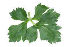 Celery leaf on white Stock Photo