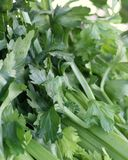 Celery Leaves Royalty Free Stock Image