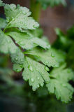 Celery leaves. Closeup with raindrops Stock Photography