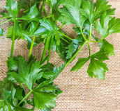 Celery Leaves. Fresh green celery (Apium graveolens) leaves for cooking. Celery is used as a vegetable and one of the most nutritious herbs Royalty Free Stock Image