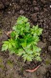 Celery leaves Stock Photo