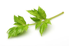 Celery leaves Stock Image