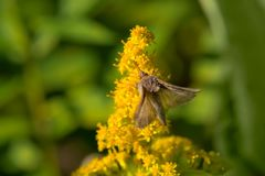 Celery Looper Moth. Collecting nectar from a Goldenrod flower. Tiny Marsh Provincial Wildlife Area, Elmvale, Ontario, Canada Royalty Free Stock Photo