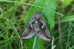 Celery Looper Moth. On a dandelion leaf Stock Images
