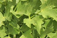 Celery. Organic food green healthy spring generic diet nutrition leaf vegetables vegetable Royalty Free Stock Photo