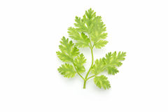 Celery, parsley bunch on white background Stock Image