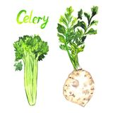 Celery root, green plant with leaves vector illustration