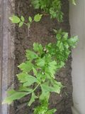 Celery plant Stock Photos