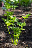 Celery plant in the vegetable garden Royalty Free Stock Photo