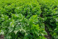 Celery Plants Agricultural Field royalty free stock photography