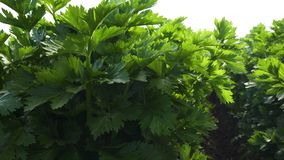 Celery Plants Agricultural Field. Organic Celery, California. Close Up of Celery Plants on a Field. Agriculture, Harvesting, Organic, Vegetables stock footage