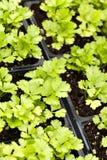 Celery Plants Royalty Free Stock Image