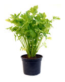 Celery in pot over white Royalty Free Stock Photos