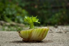 Celery Resurrection 4217. From death to life. Get hope for the future with a new resurrection stock images