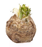 Celery Root Royalty Free Stock Photography