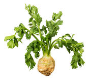 Celery root with leaves. Celery root with green leaves isolated on white background Stock Images