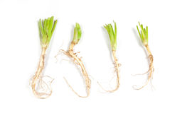 Celery roots. Stock Photography