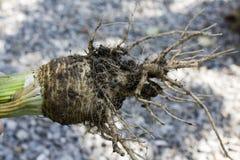 Celery roots Stock Photo