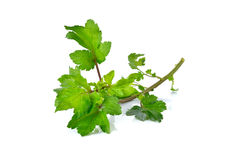 Celery or Sagebrush with stem on white Royalty Free Stock Photography