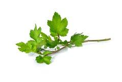 Celery or Sagebrush with stem on white Stock Photo