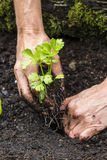 Celery Seedling Royalty Free Stock Image
