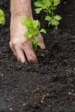 Celery Seedling Royalty Free Stock Photo