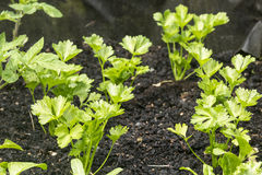 Celery Seedlings Royalty Free Stock Photography