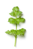 Celery Stalk Royalty Free Stock Photos