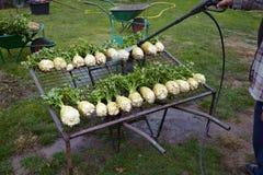 Celery vegetable Stock Photo