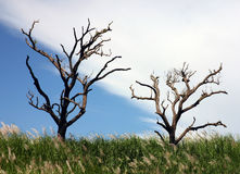 Celestial angiography. Leafless dead trees with a dramatic sky behind Stock Photo