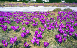 Celestial bells spring. After a cold winter in the Carpathians snow melts and there are fabulous fantastic flowers - crocuses crocuses, their bells to the sun Royalty Free Stock Photos