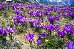Celestial bells spring. After a cold winter in the Carpathians snow melts and there are fabulous fantastic flowers - crocuses crocuses, their bells to the sun Stock Photo