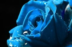 Celestial Blue macro rose with dew. On black background royalty free stock image