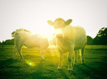 Celestial Cows royalty free stock images