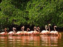 Celestun Pink Flamingos Royalty Free Stock Images