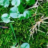 celidonia menor en musgo verde fotografía de archivo libre de regalías