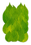 Celinda Leafs. On a white isolated Background Stock Photography