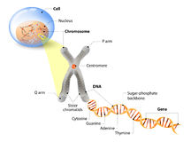 Cell, Chromosome, DNA and gene. Cell Structure. The DNA molecule is a double helix. A gene is a length of DNA that codes for a specific protein. Genome Study Royalty Free Stock Photo