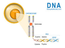 Cell, Chromosome, DNA and gene. Cell Structure. The DNA molecule is a double helix. A gene is a length of DNA that codes for a specific protein. Genome Study Royalty Free Stock Photography